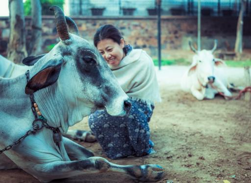 Cow protection and care is a core tenant of ISKCON's mission