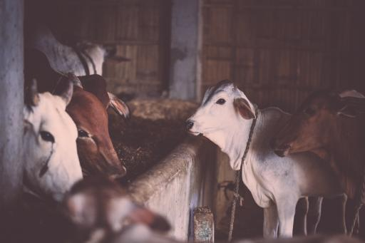 Cows are considered sacred in Hindu traditions