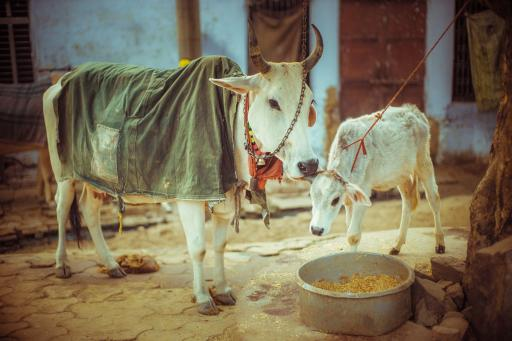 Cows at an ISKCON sanctuary in India